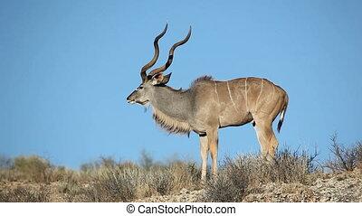 Kudu antelope - A big male kudu antelope (Tragelaphus...