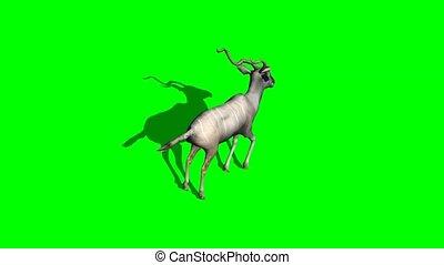 Kudu Antelope running - green screen