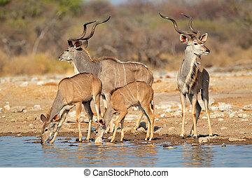 Kudu antelopes at a waterhole - Kudu antelopes (Tragelaphus...