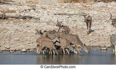 Kudu antelopes at waterhole - Kudu antelopes (Tragelaphus...