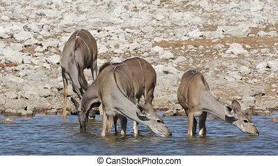 Kudu antelopes drinking water - Kudu antelopes (Tragelaphus...