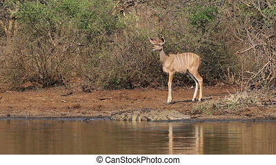 Young kudu calf (Tragelaphus strepsiceros) hesitating at the waters edge with a large crocodile, Kruger National Park, South Africa