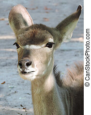 Kudu, female animal. Safari animal in the wild.