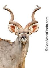 kudu head isolated