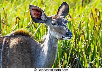 Kudu im iSimangaliso-Wetland-Park
