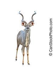 kudu isolated