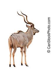 kudu, maschio, più grande, isolato