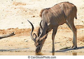 kudu, più grande