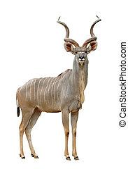 kudu - greater kudu isolated on a white background