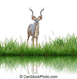 kudu with green grass isolated