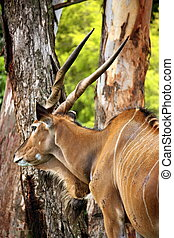 Kudu with Long Horns