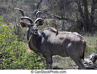 kudu, z, na, towarzysząc, ptak