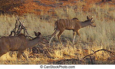 wildlife females of kudu on red desert sand in Namib Solitaire desert of the Namibia Africa.