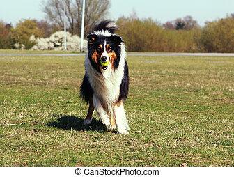 kugel, hund