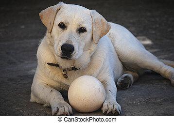 kugel, hund, labrador