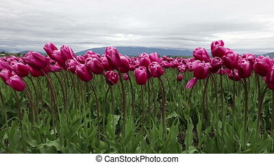 kugel, tulpenblüte, fest, sechs, washington, mt vernon,...
