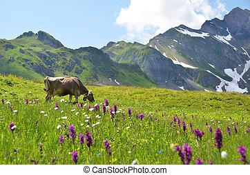 kuh, in, ein, alpin, meadow., melchsee-frutt, schweiz