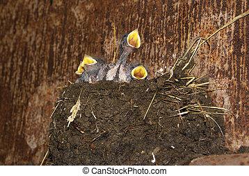kuikentjes, nest, zwaluw