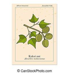 Kukui nut medicinal plant  Kukui nut aleurites moluccanus , or