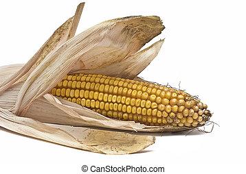 kukurydza, kłosie, odizolowany, na, white.