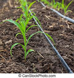 kukurydziane pole, rozwój, z, kapać, nawadnianie, system.