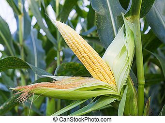 kukurydziany badyl