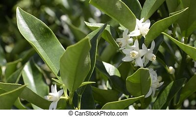 White kumquat flowers and green leaves in summer
