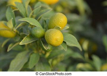 Kumquat fruit - Latin name - Fortunella japonica