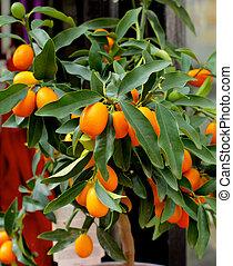 Kumquat Fruit Tree