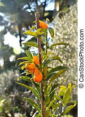 Kumquat plant with fruits