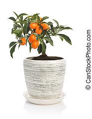 kumquat, pot fleurs, arbre