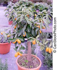 kumquat tree in a garden