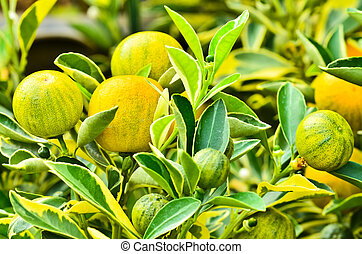 Kumquat tree with fruit