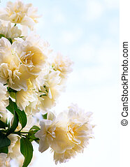 kunst, jasmijn, bloemen, op, blauwe hemel, achtergrond