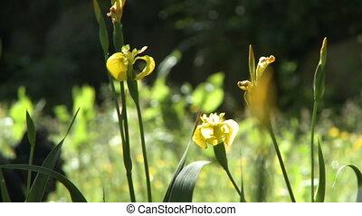kura, żółty, orchidee, reputacja, dziki