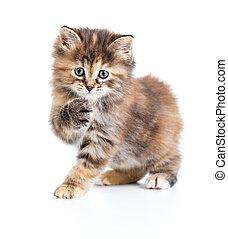 Kuril bobtail tortoiseshell coat coloring cat with paw up