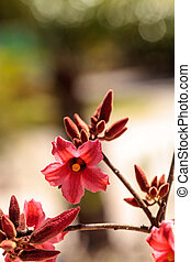 kurrajong, ピンクの花, brachychiton, bidwillii, ハイブリッド, 変色しなさい, x