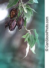 kurrajong, brachychiton, ブランチ, 冬, ポッド, 木, 種, populneus, びん, 掛かること, season., キプロス, ∥あるいは∥