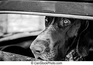 kurzhaar dog is waiting in the car