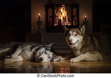 kutyák, portré, szibériai, kandalló, két, fekvő, héjas