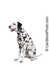 kutya, dalmáciai, fehér, elszigetelt