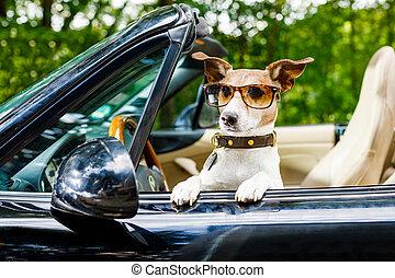 kutya, drivers licenc, kocsikázás autó