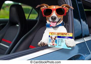 kutya, drivers licenc