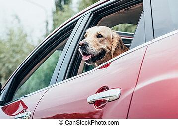 kutya, külső, közül, autó ablak