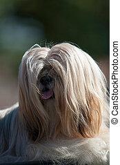 kutya, noha, hosszú szőr