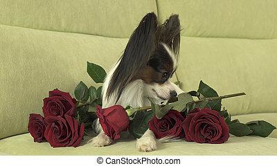 kutya, papillon, noha, piros rózsa, szerelemben, képben látható, valentines nap