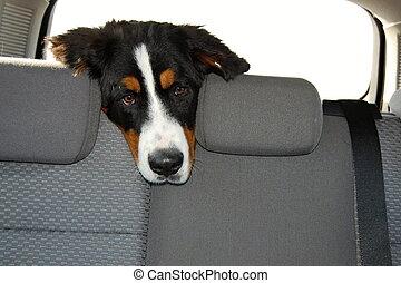 kutya, utazás, kocsiban