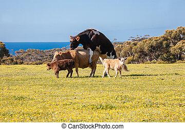 kvæg, parre