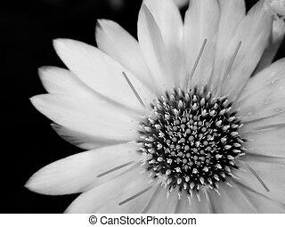 květ, černobílý