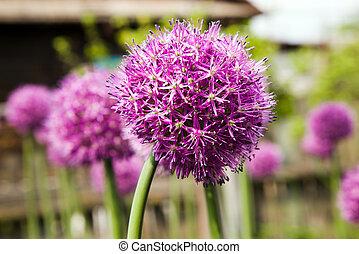 květ, česnek